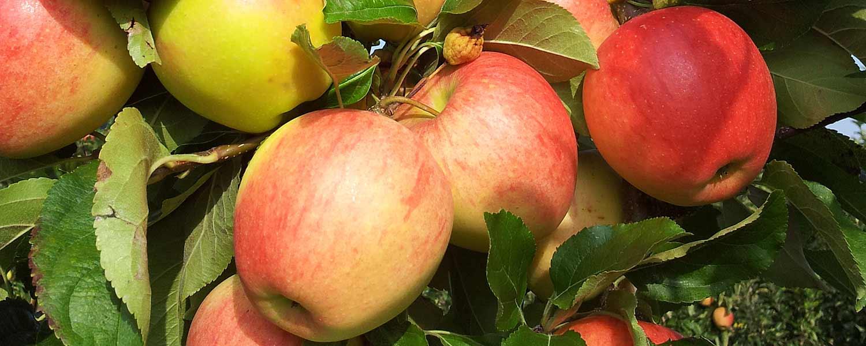 Unserere Äpfel